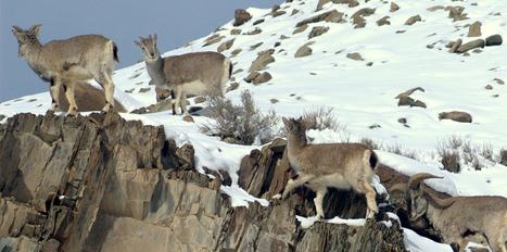 Kashmir Wildlife Dachigam Nandini Kishtwar High Altitude National Park   An Open Eye to the Outdoor   Scoop.it