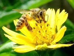 La Silicon Valley fait son miel de la défense des abeilles | SmartPlanet.fr | Biodiversité | Scoop.it