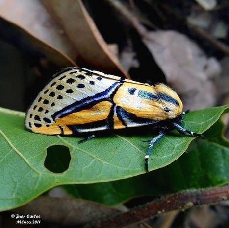 Papillon de nuit très coloré du Mexique | Mes passions natures | Scoop.it