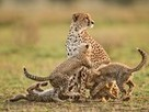 Cheetah Mother and Cubs, Tanzania - National Geographic | Greetha | Scoop.it