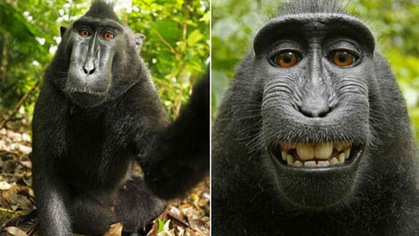 "Wikimedia, photographer in legal battle over ""monkey selfie"" photograph -- but why? 