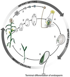 PLOS Genetics: And Baby Makes Three: Genomic Imprinting in Plant Embryos | Emerging Research in Plant Cell Biology | Scoop.it