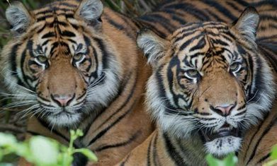 Indonesia: The Rape and Pillage of   Sumatran tigers' last stronghold | Biodiversity IS Life  – #Conservation #Ecosystems #Wildlife #Rivers #Forests #Environment | Scoop.it