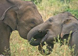 Asian Elephants Console Other Elephants in Distress - Environment News Service | Animals R Us | Scoop.it
