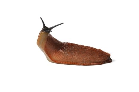 Catch the killer slugs! Spanish molluscs on rampage in Britain | John Innes Centre on the web | Scoop.it