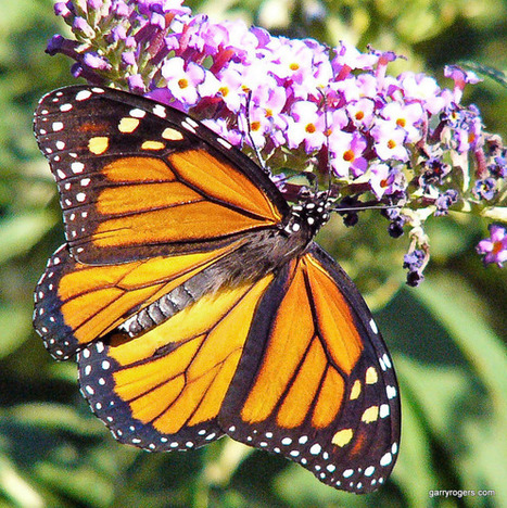 After 90 Percent Decline, Federal Protection Sought for Monarch Butterfly | GarryRogers NatCon News | Scoop.it