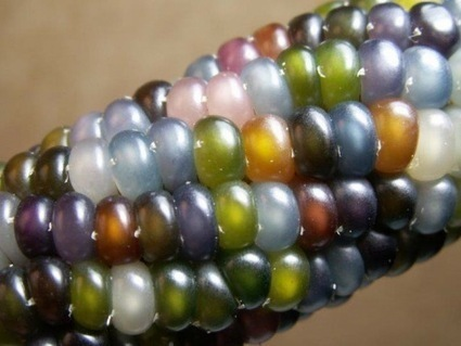 The Story of Glass Gem Corn: Beauty, History, and Hope | History and Food | Scoop.it