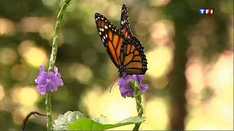 Il faut réintroduire les papillons à la Martinique | EntomoNews | Scoop.it