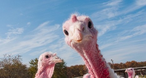Minnesota — the nation's top #turkey producing state #birdflu #factoryfarms #environment | Messenger for mother Earth | Scoop.it