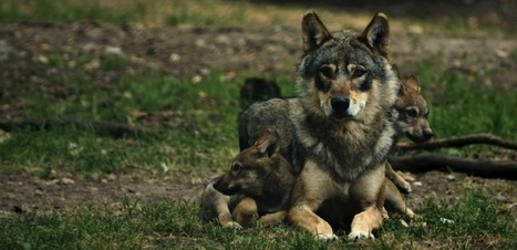 VIDEO. Les loups sont des papas poules | Biodiversité | Scoop.it
