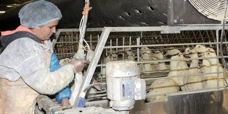 Grippe aviaire : un gaveur de Dordogne qui tente de positiver | Agriculture en Dordogne | Scoop.it