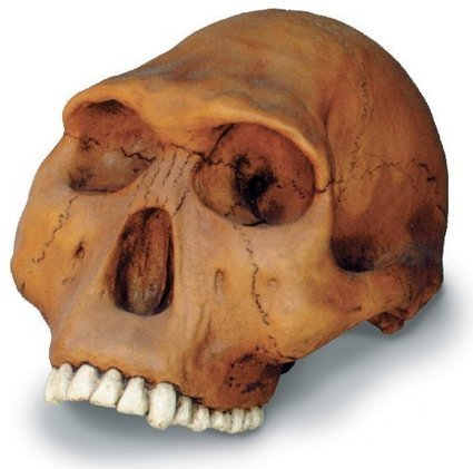 H Habilis Cranium W Stand | Toys Games | Scoop.it