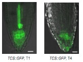 A robust and sensitive synthetic sensor to monitor the transcriptional output of the cytokinin signaling network in plants   SynBioFromLeukipposInstitute   Scoop.it