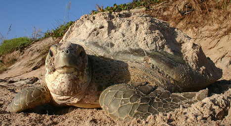 How To Keep Sea Turtles Safe During Nesting Season | GarryRogers Biosphere News | Scoop.it