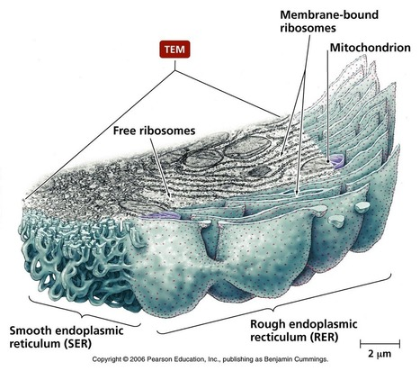 Biology Pictures: Rough and Smooth Endoplasmic Reticulum | Algorithm | Scoop.it
