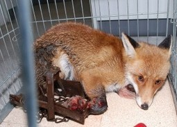 Ban Cruel Wildlife Traps | GarryRogers Biosphere News | Scoop.it