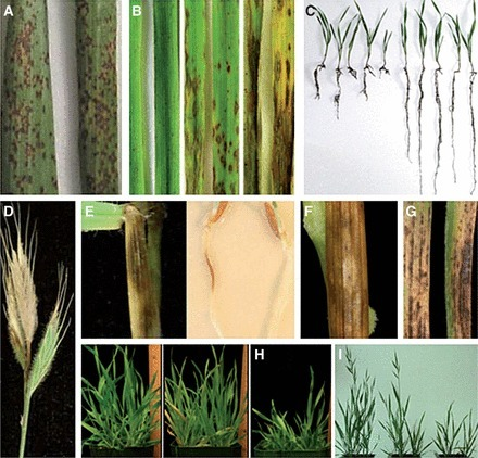Brachypodium as an emerging model for cereal–pathogen interactions | Plant immunity | Scoop.it