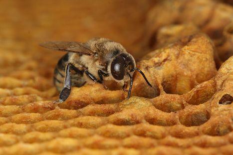 Les abeilles françaises n'ont jamais aussi peu produit de miel qu'en 2016 | Toxique, soyons vigilant ! | Scoop.it