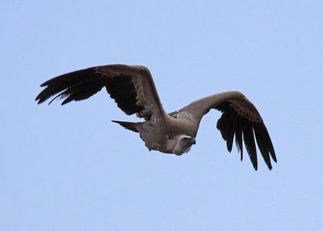 Vanishing Vultures - Conservation Articles & Blogs - CJ   Wildlife and Conservation   Scoop.it