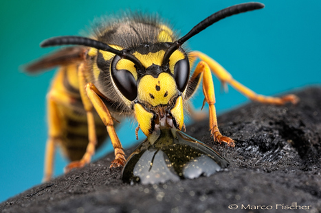 Thirsty Wasp by Marco Fischer | I didn't know it was impossible.. and I did it :-) - No sabia que era imposible.. y lo hice :-) | Scoop.it