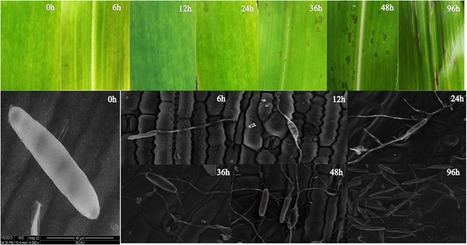 Transcriptome Analysis of Maize Leaf Systemic Symptom Infected by  Bipolaris zeicola | Plant Genomics | Scoop.it