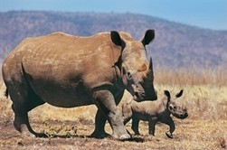 Vietnam and Mozambique are urged to do more to stop illegal rhino trade | The extinction of our wildlife | Scoop.it