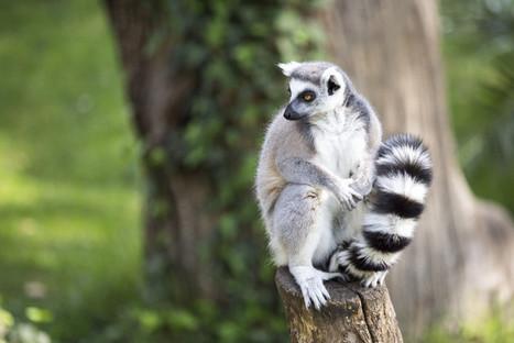 How lessons from past extinctions can help save Madagascar's lemurs   Confidences Canopéennes   Scoop.it