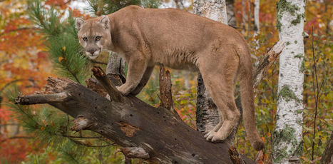 Big cats play a bigger role in plant preservation  than we knew before   Confidences Canopéennes   Scoop.it