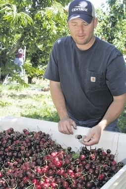 Cherry, stone fruit assessment ballots due | capitalpress.com | Local Food Systems | Scoop.it