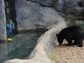 Black bear scales 10-foot fence to visit Knoxville Zoo | Personal Injury | Scoop.it