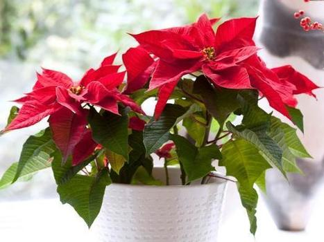How to Care for Poinsettias | Organic Farming | Scoop.it