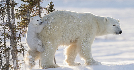 I Waited for 117 Hours in -50°C Temperatures to Snap These Polar Bear Photos | xposing world of Photography & Design | Scoop.it