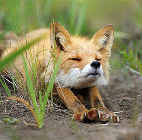 22 Breathtaking Wildlife Pictures Of Beautiful Foxes | Reflejos | Scoop.it