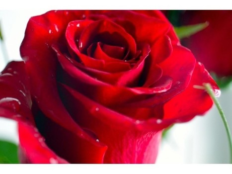 The Real Reason for Flowers: Not Just for Valentine's Day | Patch | CALS in the News | Scoop.it