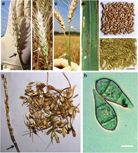 BMC Biology: Emergence of wheat blast in Bangladesh was caused by a South American lineage of Magnaporthe oryzae (2016) | Publications from The Sainsbury Laboratory | Scoop.it