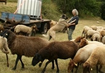 Alsace : à Mollau, un agriculteur possède des bergers d'Anatolie pour protéger les brebis contre les loups | Loup | Scoop.it