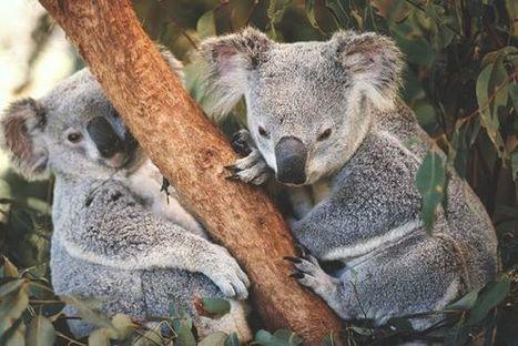 China's Demand for Coal Threatens Koalas | GMOs & FOOD, WATER & SOIL MATTERS | Scoop.it