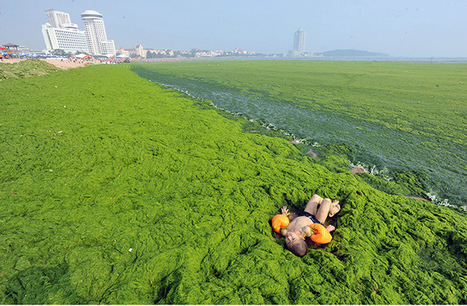 Chinese beaches overwhelmed by algae – in pictures | Sustain Our Earth | Scoop.it