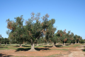 First report of Xylella fastidiosa in the EPPO region | PLANT PROTECTION | Scoop.it