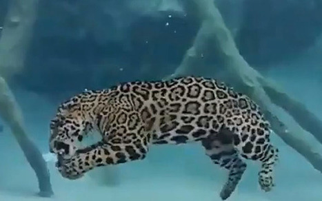 Video of jaguar swimming underwater goes viral | animals and prosocial capacities | Scoop.it