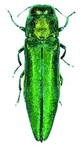 Emerald ash borer found in Massachusetts (USA) | Effectors and Plant Immunity | Scoop.it