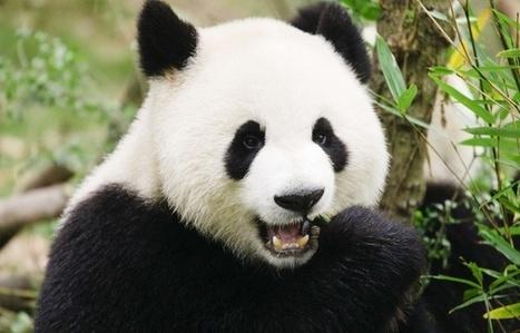 Panda: Un nouveau spécimen découvert en Chine | Biodiversité & Relations Homme - Nature - Environnement : Un Scoop.it du Muséum de Toulouse | Scoop.it