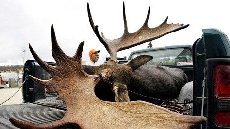Thanks To Parasites, Moose Are Looking More Like Ghosts | Climate change challenges | Scoop.it