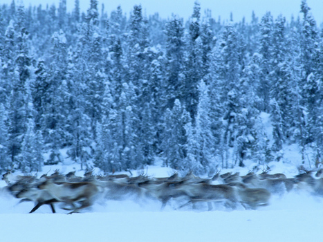 1. Informational Website (Encyclopedic Entry) on TAIGA FOREST | Boreal (Taiga Forest) | Scoop.it