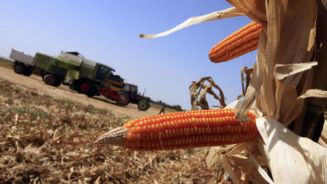 GMOs linked to gluten disorders plaguing 18 million Americans - report | GMO FOOD | Scoop.it