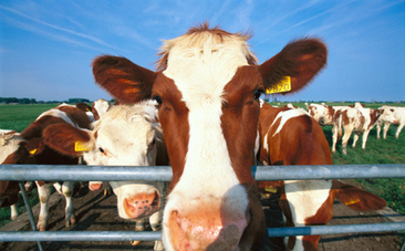 Grass vs. Grain: Cows Are What They Eat | Healthy Recipes and Tips for Healthy Living | Scoop.it