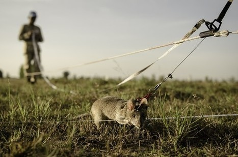 """Hero Rats"" Have Learned How to Sniff Out Land Mines 