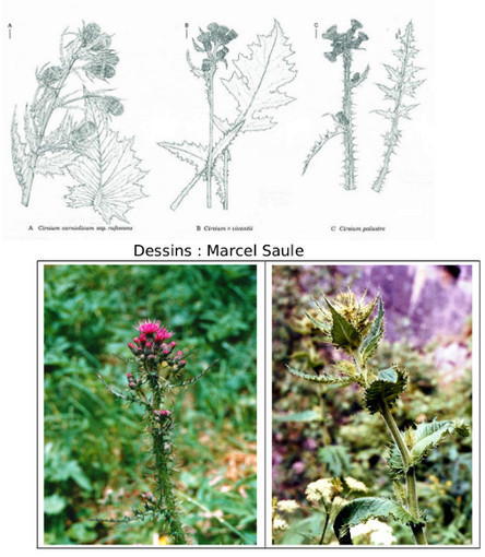 Un taxon méconnu des Pyrénées occidentales: Le Cirse de Vivant | Nouvelles Flore | Scoop.it