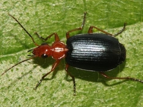 Bombardier Beetle Might Be Small But It Carries A 'Machine Gun' Of Hot Chemical Mix | Tech Times | CALS in the News | Scoop.it
