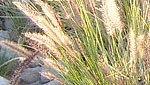 Fighting Buffelgrass Head On | Arizona Public Media | CALS in the News | Scoop.it